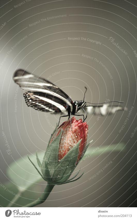 Butterfly´s Bellini Pt.2 Natur Blume Pflanze Tier Blüte klein sitzen Flügel Insekt natürlich Schmetterling Fressen exotisch Blütenknospen Fühler filigran