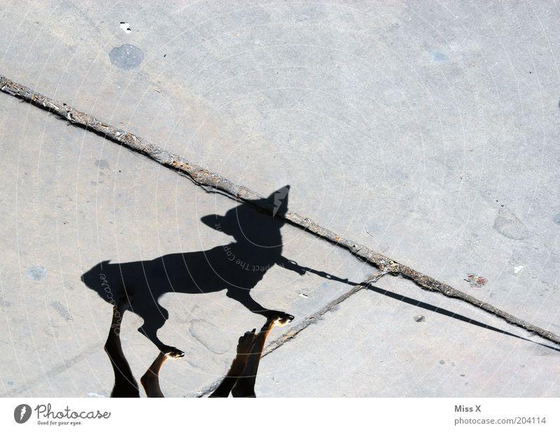 Tinkerbell Straße Tier Hund 1 klein lustig Gassi gehen Bürgersteig Farbfoto Gedeckte Farben Außenaufnahme Menschenleer Textfreiraum oben Schatten Silhouette