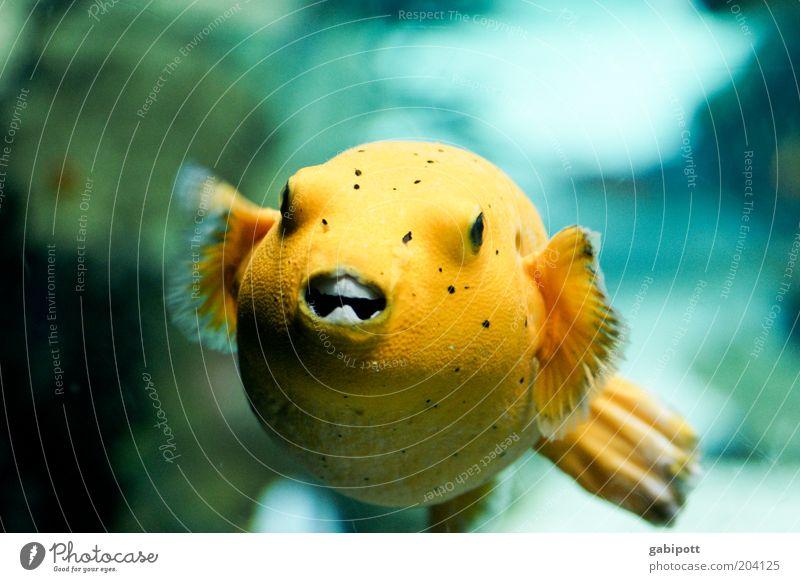 Lemonbaby: bissig Wasser Tier gelb Fisch rund außergewöhnlich Aquarium exotisch Unterwasseraufnahme Strukturen & Formen Aquaristik Fischmaul