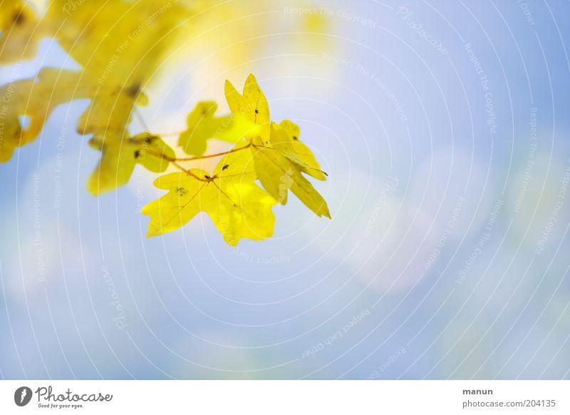 Ahorngelb Natur Baum Sonne Blatt Herbst hell gold frisch Wachstum Wandel & Veränderung Umwelt Herbstlaub herbstlich Herbstfärbung