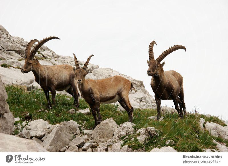 Auf Steinen stehende Steinböcke Himmel Sommer Tier Gras Berge u. Gebirge Stein Felsen Tiergruppe beobachten Alpen wild Hügel Wildtier niedlich Respekt Horn