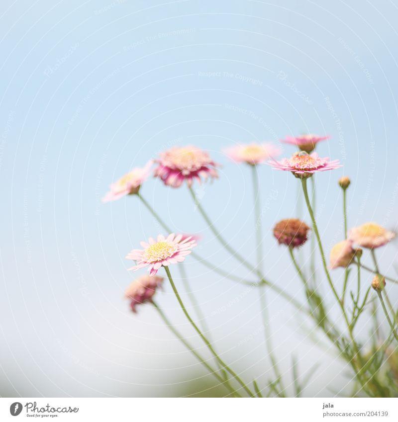blümchen Natur Pflanze Blume schön blau rosa Farbfoto Außenaufnahme Menschenleer Textfreiraum oben Tag Blühend Himmel Blütenblatt