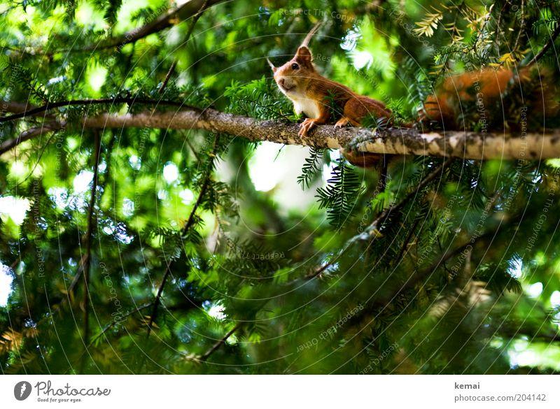 Eichhörnchen-Balkon Natur Baum grün Pflanze Sommer Tier oben Umwelt braun sitzen Tiergesicht Wildtier Ast Neugier Fell leuchten