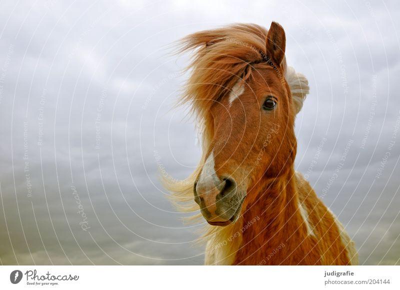 Island Natur Himmel Wolken Tier Nutztier Pferd 1 beobachten ästhetisch Freundlichkeit natürlich braun Stimmung Zufriedenheit Tierliebe Island Ponys Wind Mähne