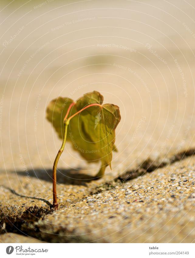 durchhalten . . . Natur grün Pflanze Blatt Stein braun Beginn Wachstum stehen Wandel & Veränderung Stengel hängen anstrengen Fuge Grünpflanze Wildpflanze