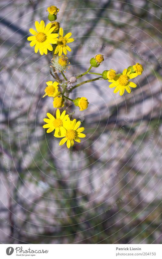 Blütezeit Umwelt Natur Pflanze Sommer Blume Wildpflanze gelb korbblütler schön grell Unschärfe Verschiedenheit verzweigt Farbfoto Außenaufnahme Detailaufnahme