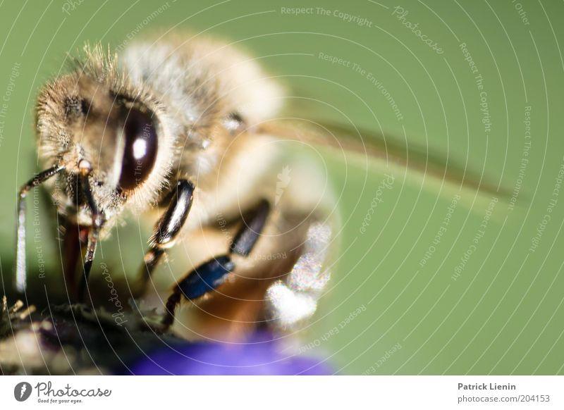 schau mir in die Augen Kleines Natur Pflanze Tier Sonne Sommer Blume Garten Park Wiese Arbeit & Erwerbstätigkeit Biene Blick Flügel grün groß Fühler Ernährung