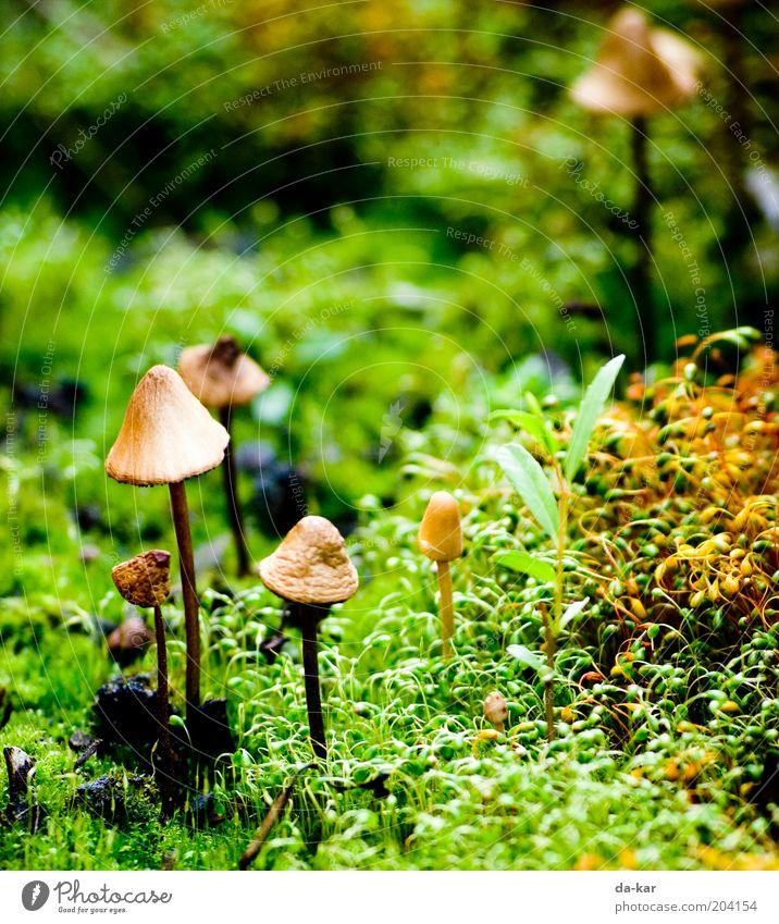 Ein Männlein steht im ... Natur grün Pflanze braun klein nah unten Pilz Moos Pilzhut Umwelt