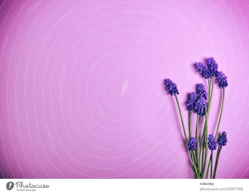 Purpurrote Frühlingsblumen auf einer rosa Oberfläche Valentinstag Muttertag Erntedankfest Hochzeit Geburtstag Blume Blüte Blumenstrauß frisch hell natürlich