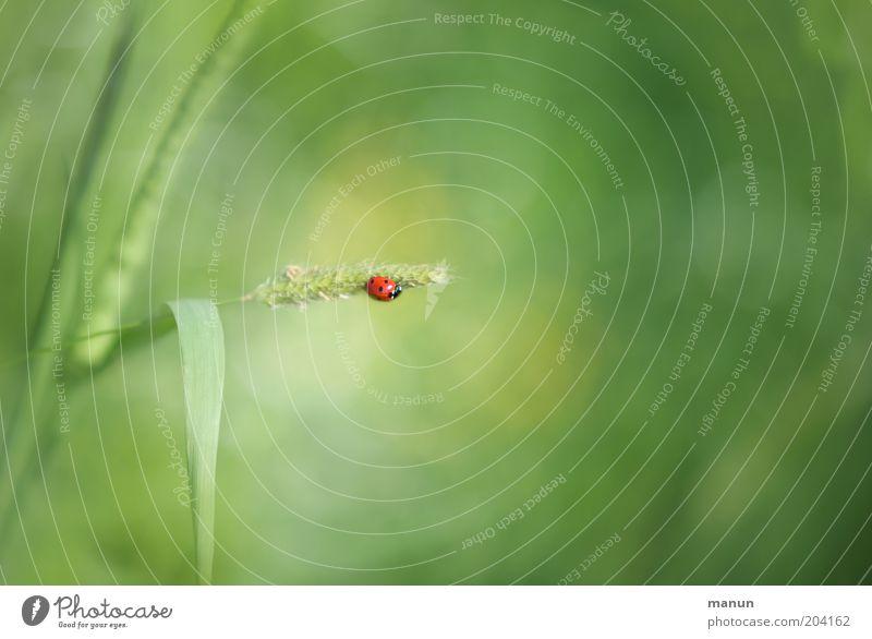 Kleines Glück Natur Pflanze Gefühle Wildtier Zeichen Halm Käfer Marienkäfer Tier Textfreiraum rechts Insekt Nutzpflanze Glücksbringer