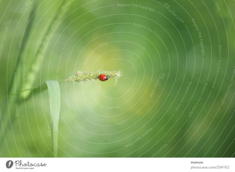 Kleines Glück Natur Pflanze Nutzpflanze Wildtier Käfer Zeichen Gefühle Marienkäfer Glücksbringer Textfreiraum rechts Tierporträt Textfreiraum oben