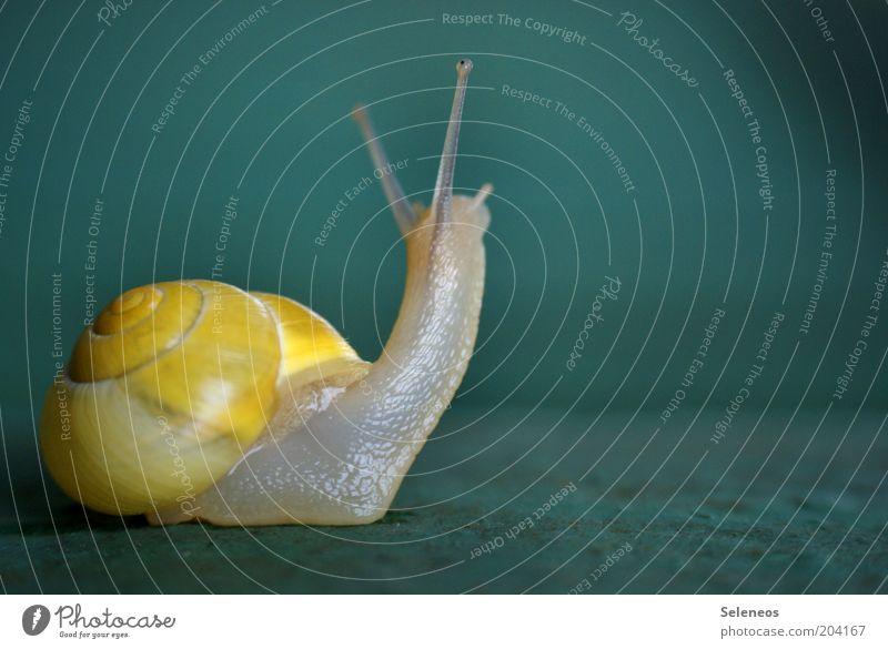 Schielauge Natur Tier Schnecke Schneckenhaus Fühler 1 beobachten Blick klein nah niedlich schleimig Geschwindigkeit Farbfoto Außenaufnahme Menschenleer