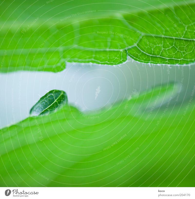 klein aber oho! grün Pflanze Sommer Blatt Leben Frühling klein Umwelt Wachstum Blattadern Grünpflanze entstehen Jahreszeiten Jungpflanze Blattgrün
