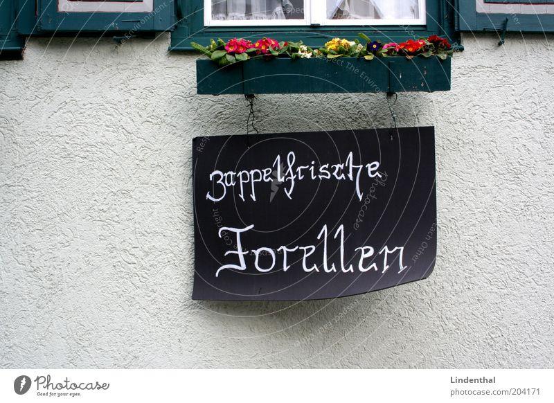Zappelfrische Forellen im Detail weiß Fenster Schilder & Markierungen frisch Fisch Werbung Dorf verkaufen Textfreiraum links Altstadt Tier Bewegung Forelle zappeln Blumenkasten Fischerdorf