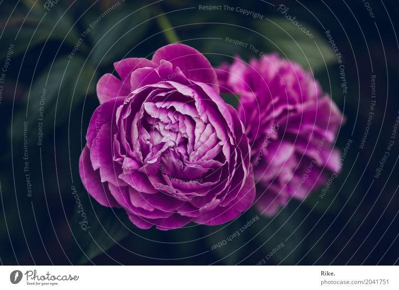 Aufgehende Schönheit. Umwelt Natur Pflanze Frühling Sommer Blume Rose Blüte Pfingstrose Garten Park Blühend Duft Wachstum schön natürlich rosa Romantik