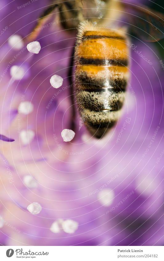 kurzer Moment Natur Tier Sommer Pflanze Blume Blüte Wildpflanze Biene Nektar nah schön Farbe mehrfarbig Makroaufnahme Menschenleer Tag Unschärfe violett