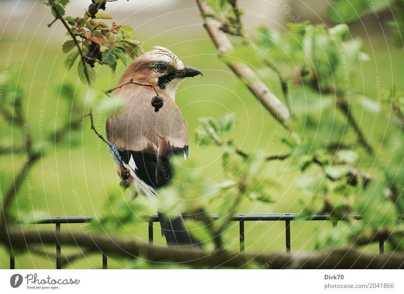 Eichelhäher auf dem Gartenzaun Natur Tier Pflanze Baum Blatt Apfelbaum Zweige u. Äste Wildtier Vogel Tierporträt Häher 1 beobachten Blick sitzen Wachstum listig