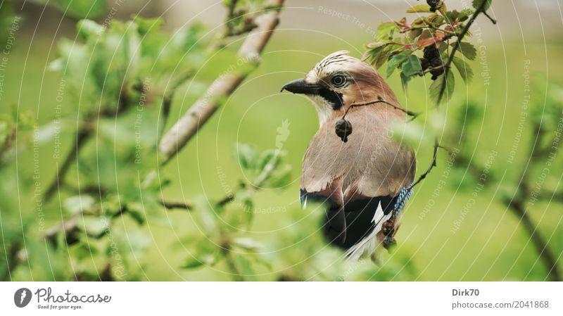 Eichelhäher im Apfelbaum Umwelt Pflanze Tier Frühling Baum Sträucher Blatt Ast Zweig Garten Park Wiese Wildtier Vogel Singvögel 1 beobachten hocken Blick sitzen