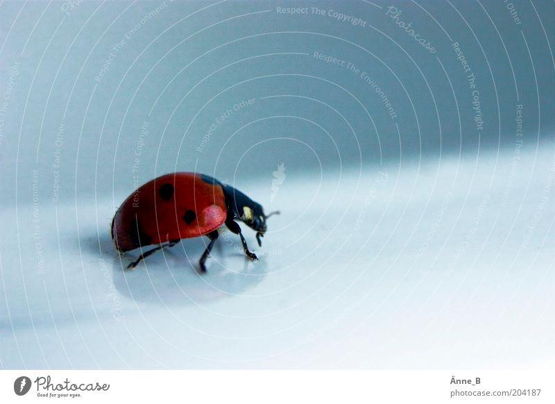 Rot lackiert mit schwarzen Punkten Umwelt Natur Tier Nutztier Käfer Flügel Marienkäfer 1 frei glänzend schön blau rot Glück Wachsamkeit Volksglaube Farbfoto