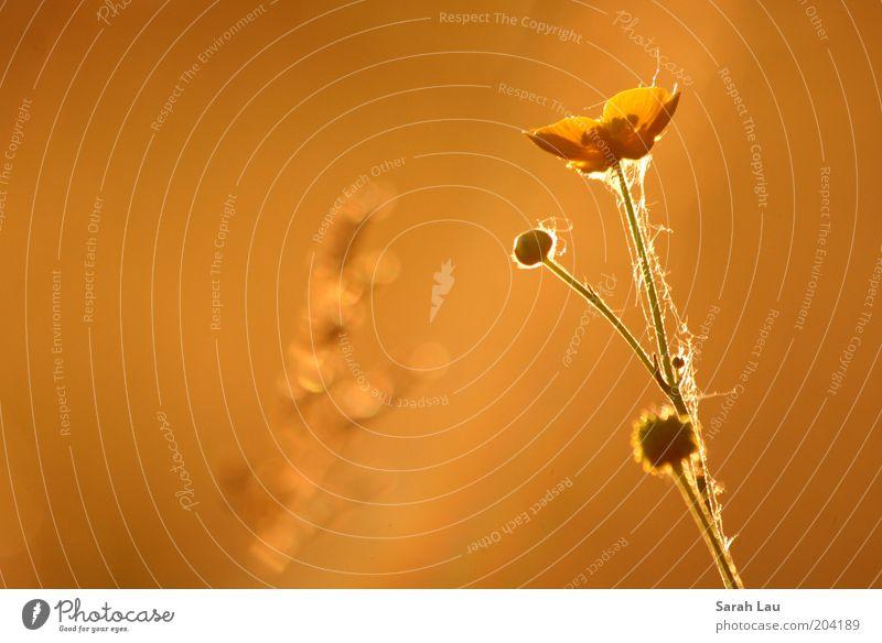 *glow* Natur schön Pflanze Sommer ruhig Blüte Stimmung orange Romantik Stengel Blütenblatt Sonnenstrahlen Blütenstiel Wildpflanze