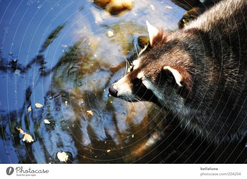 Waschtag Umwelt Natur Wasser Teich Tier Wildtier Tiergesicht Fell 1 Waschbär Futterplatz niedlich Tierliebe Wasserstelle trinken Jagd Farbfoto mehrfarbig