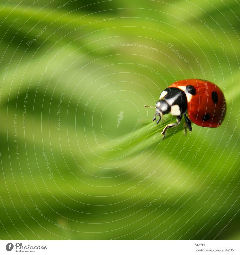 Gegenwärtigkeit Natur Sommer Gras Halm Tier Käfer Marienkäfer Insekt Käferbein 1 krabbeln schön grün rot Glück Zukunft Unschärfe Glücksbringer Leichtigkeit