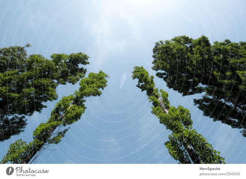 Papperlapappel Natur Pflanze Himmel Sommer Baum Pappeln blau grün aufstrebend Baumreihe Blauer Himmel Farbfoto Außenaufnahme Menschenleer Textfreiraum oben