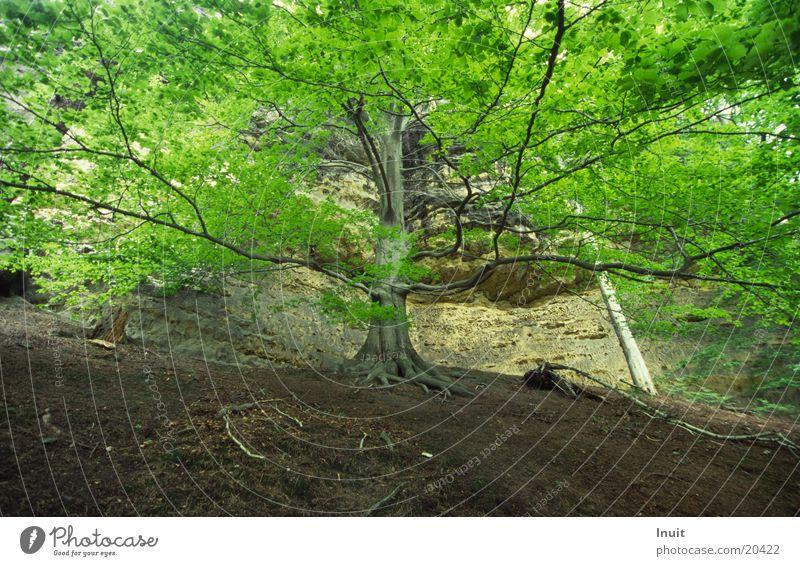 Baum Böhmische Schweiz Buche Baumkrone Blatt Berge u. Gebirge Gabrielensteig ausladend Felsen