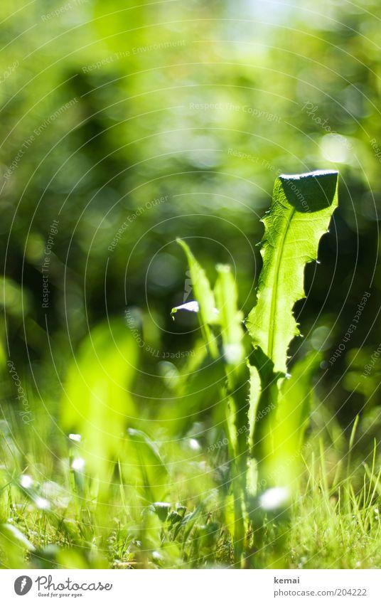 Löwenzahn Umwelt Natur Pflanze Sonnenlicht Frühling Sommer Klima Schönes Wetter Wärme Gras Blatt Grünpflanze Wildpflanze Unkraut Wiese frisch hell grün