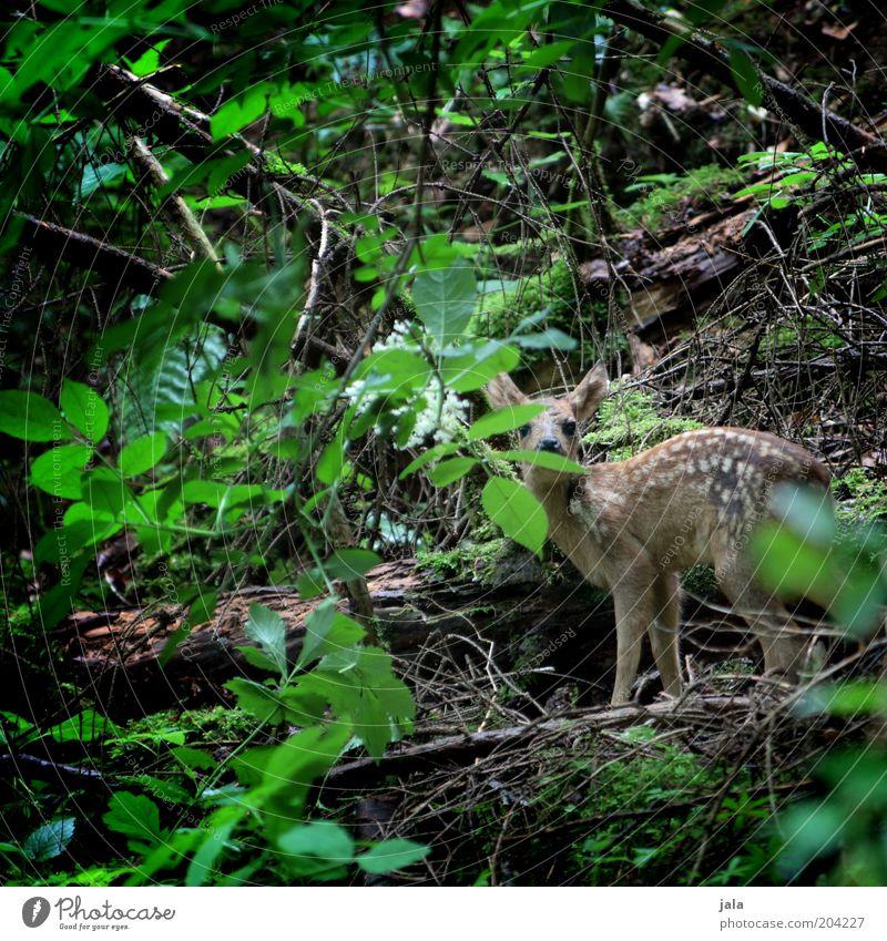 im dickicht... Pflanze Baum Sträucher Wildpflanze Wald Unterholz Tier Wildtier Rehkitz 1 Tierjunges ruhig klein Blatt Farbfoto Außenaufnahme Menschenleer Tag
