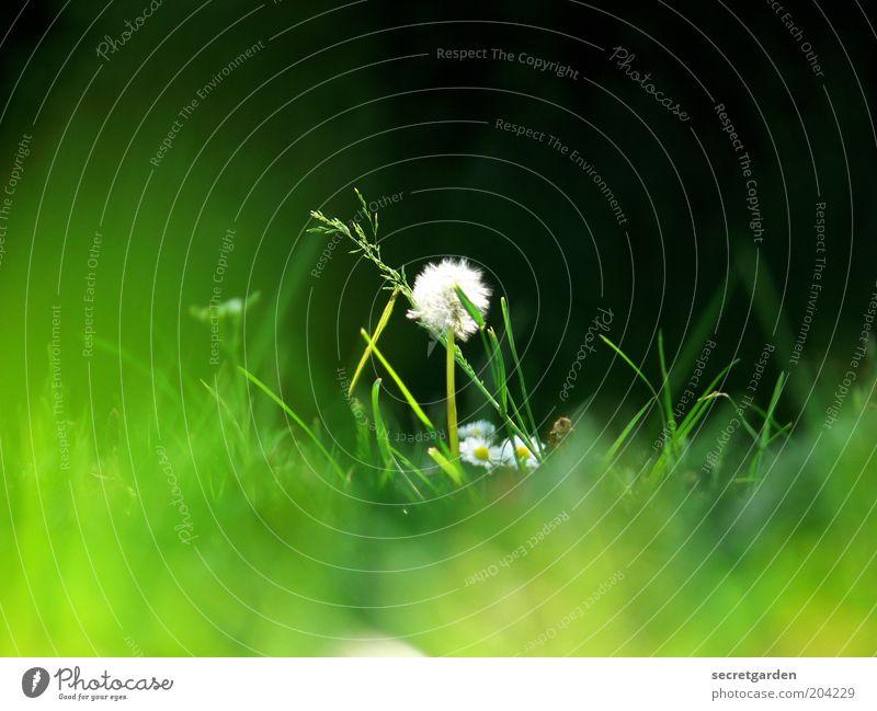 im mittelpunkt stehen. Umwelt Natur Pflanze Frühling Sommer Gras Löwenzahn Wiese grün schwarz weiß Einsamkeit einzigartig Mittelpunkt Farbfoto Außenaufnahme