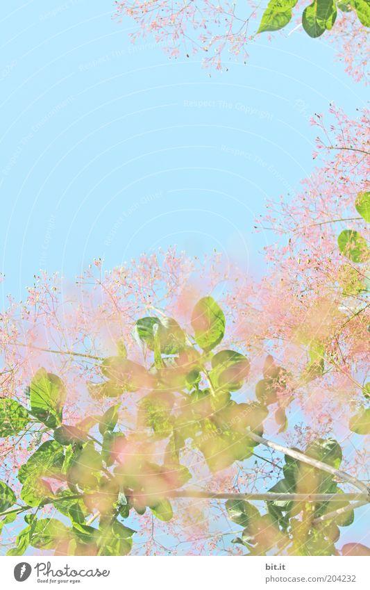 Das Grüne muß ins Rosane Sommer Natur Pflanze Himmel Frühling Blatt Blüte grün rosa Duft Blätterdach Blühend Wachstum sommerlich Frühlingsgefühle Frühlingstag