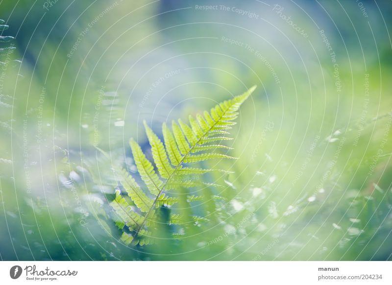 noch ein Farn Natur schön Pflanze Sommer Frühling Wachstum ästhetisch leuchten Sträucher Idylle Farn Schleier Leben Lebenskraft Naturwuchs