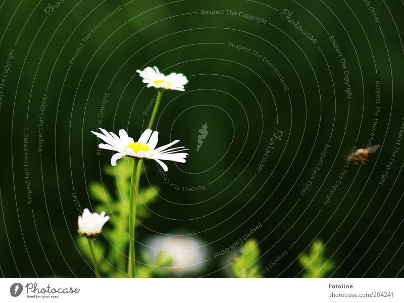 Es ist Sommer Umwelt Natur Pflanze Tier Wetter Schönes Wetter Blume Blüte Wiese hell Wärme gelb grün weiß Margerite Blühend fliegen Biene Honigbiene Farbfoto