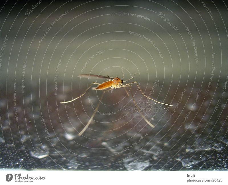 Mücke Insekt stechen saugen Plagegeist