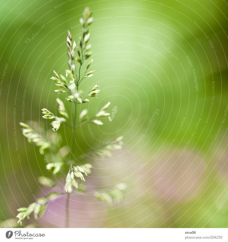 grün mit etwas rosa Natur grün Pflanze rosa Umwelt Halm Farbe