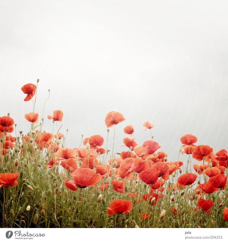 blumenwiese Natur Blume Pflanze rot Wiese Gras grau Blumenwiese Mohn Mohnfeld