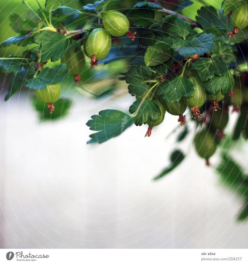 gooseberry Lebensmittel Frucht Bioprodukte Sommer Pflanze Blatt Stachelbeeren Stachelbeerblatt Garten Wachstum frisch lecker saftig grau grün weiß reif