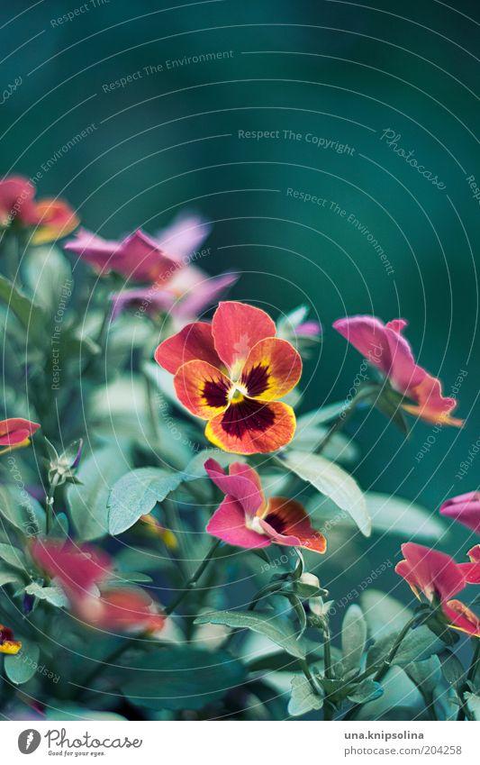 blüte Umwelt Natur Pflanze Blatt Blüte Blühend Wachstum gelb grün rot Blume Balkonpflanze Stiefmütterchen Farbfoto Außenaufnahme Nahaufnahme Menschenleer