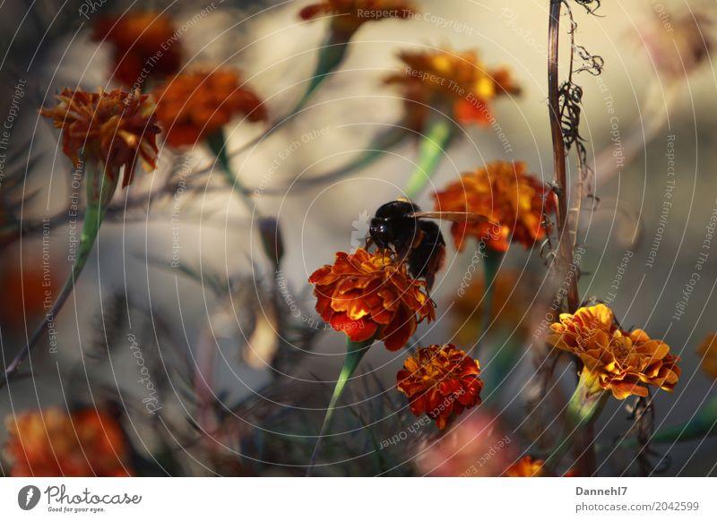 Die Wespenhummel im Orangenmeer. Pflanze Sommer Blume Blüte Feld Tier Wildtier 1 fliegen Aggression bedrohlich gigantisch gruselig orange Angst Todesangst