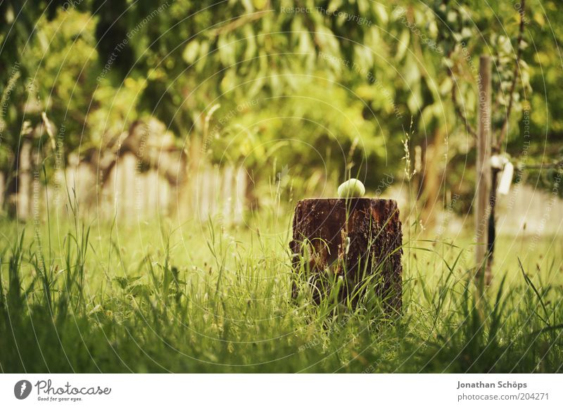 Der Apfel fällt nicht weit vom Stamm Umwelt Natur braun gelb grün Apfelbaum Baumstamm Holz gefallen Garten Park Idylle Baumrinde Gras rund Sommer sommerlich