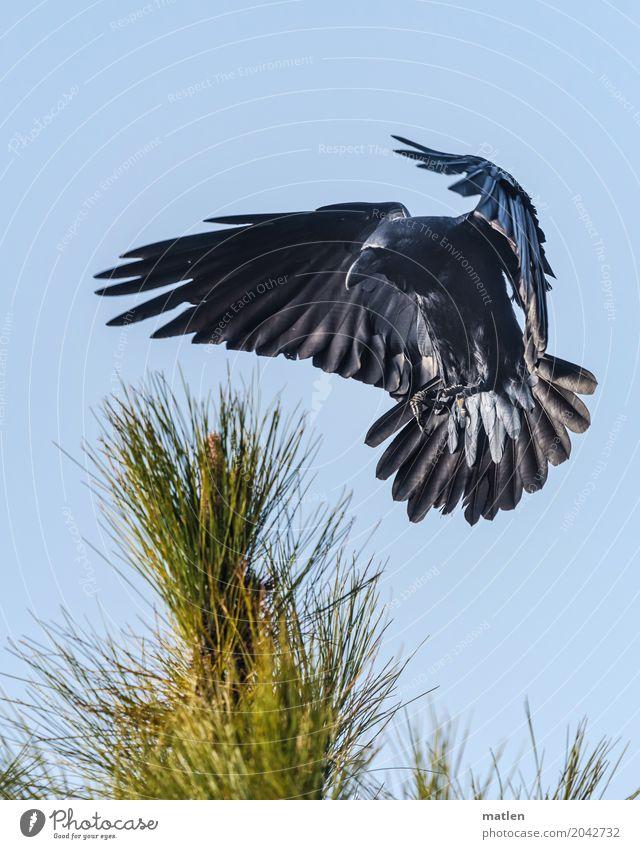 Sinkflug Tier Vogel Tiergesicht Flügel Pfote 1 fliegen blau schwarz Landen abbremsen Rabenvögel Pinie Farbfoto Gedeckte Farben Außenaufnahme Menschenleer