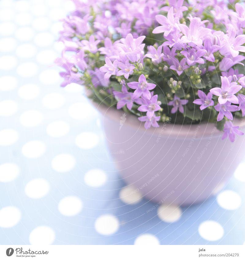 topfblümsche Pflanze Blume Topfpflanze schön violett rosa weiß Punkt Farbfoto Außenaufnahme Menschenleer Textfreiraum oben Tag Textfreiraum unten