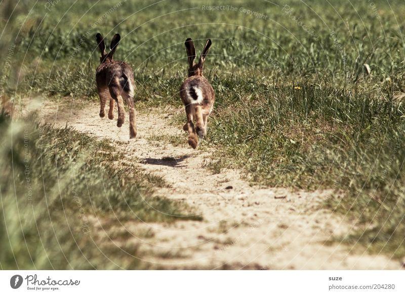 Angsthasen Natur Sommer Pflanze Tier Umwelt Landschaft Wiese Spielen Gras Wege & Pfade Erde Feld Angst Wildtier wild Tierpaar