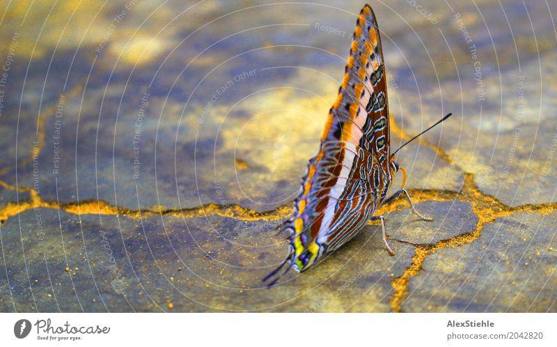 Schmetterling Umwelt Natur Erde Luft Himmel Frühling Sommer Wärme Garten Park Wiese Wald Urwald Felsen Tier Wildtier Käfer Flügel 1 Stein Sand Beton Gold Rost