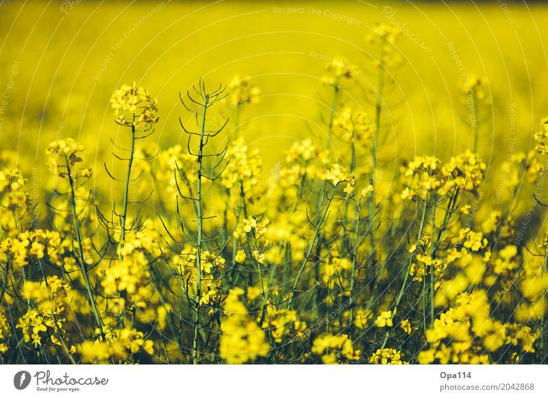 "Rapsody Umwelt Natur Pflanze Frühling Sommer Wetter Schönes Wetter Sträucher Blatt Blüte Grünpflanze Nutzpflanze Feld Blühend Wachstum gelb gold grün Duft ""Raps"