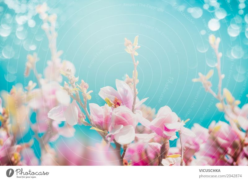 Rosa Magnolia Blüten Design Sommer Garten Natur Pflanze Himmel Frühling Schönes Wetter Blume Sträucher Park Blühend weich rosa Hintergrundbild Magnoliengewächse