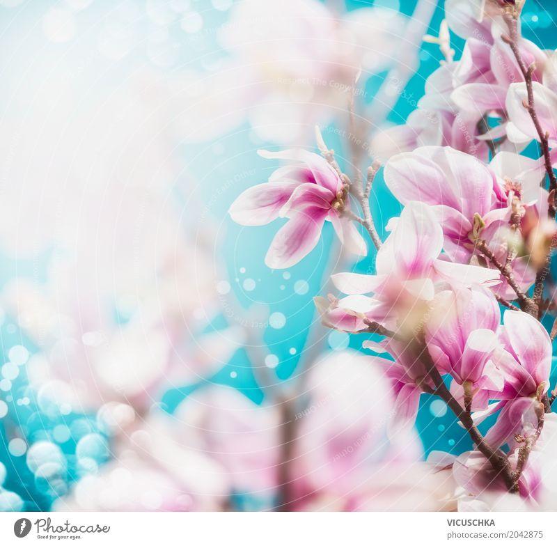 Magnolie Blüten Design Sommer Garten Natur Landschaft Pflanze Frühling Blatt Park Blühend weich rosa Magnoliengewächse Blauer Himmel Blütenknospen Unschärfe
