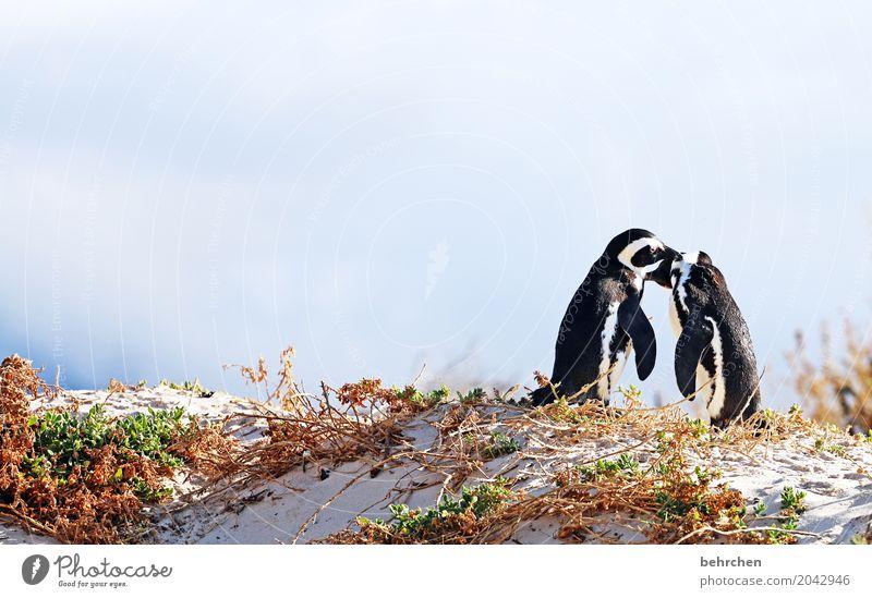 ringelrein | paartanz Ferien & Urlaub & Reisen Tourismus Ausflug Abenteuer Ferne Freiheit Küste Strand Bucht Meer Wildtier Vogel Brillenpinguin Pinguin Tierpaar