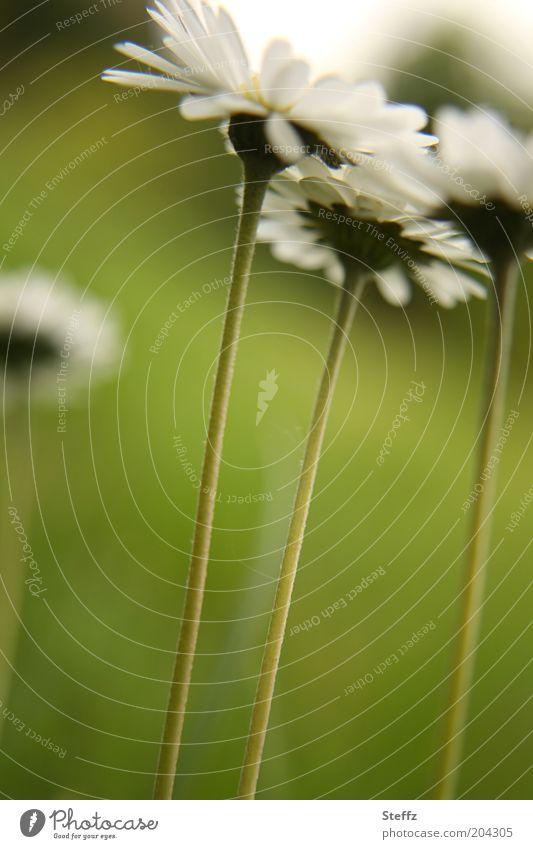 Gänseblümchen aus der Froschperspektive Blumenstengel Wiesenblumen Stengel Blümchen Wildblumen heimische Wildpflanzen wachsen einfach dezent blühend